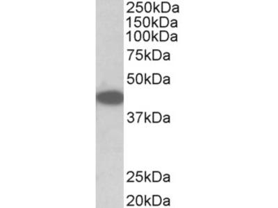 TRIB1 Antibody
