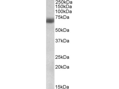 NFE2L2 / NRF2 Polyclonal Antibody