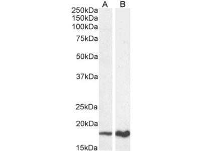 p19ARF Antibody