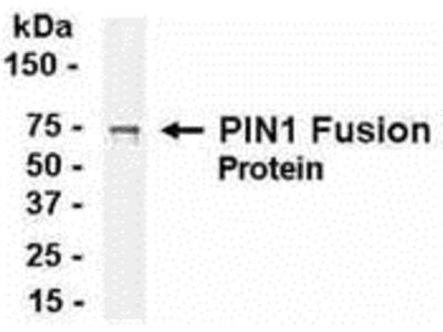 PIN1 Antibody