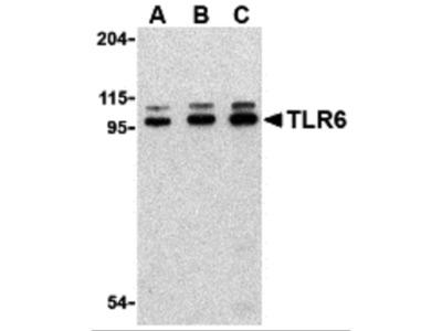 TLR6 Antibody