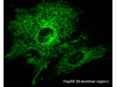 Hsp60 (N-terminal region) Antibody