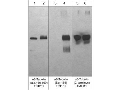 α6-Tubulin (Ser-165), phospho-specific Antibody