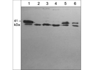 Arpc1b/p41-Arc (C-terminal region) Antibody