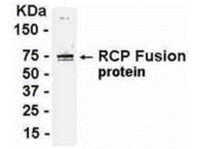 RCP Antibody