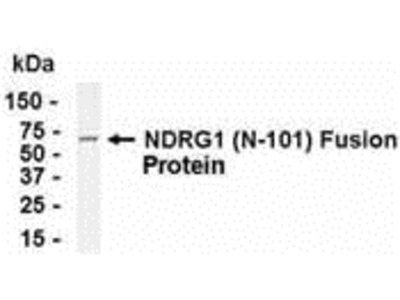 GC4 Antibody