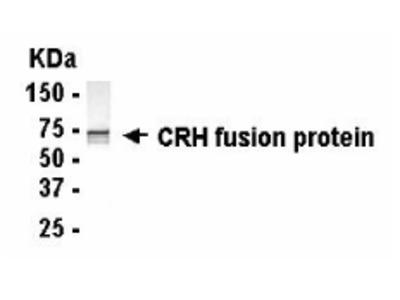 CRH Antibody