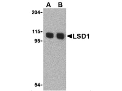 LSD1 Antibody