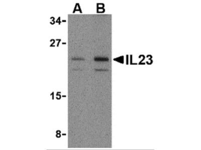 IL-23 Antibody