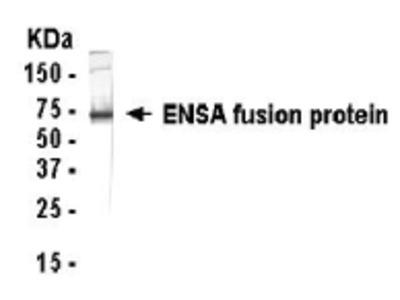 ENSA Antibody