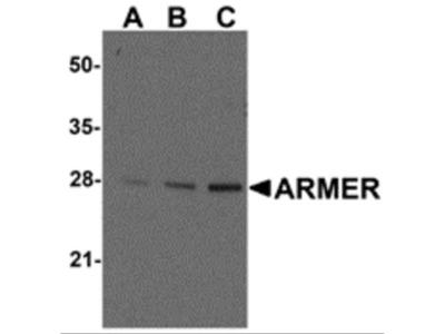 ARMER Antibody