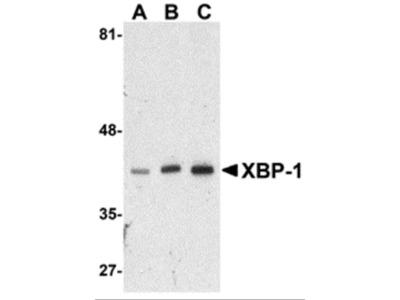 XBP-1 Antibody