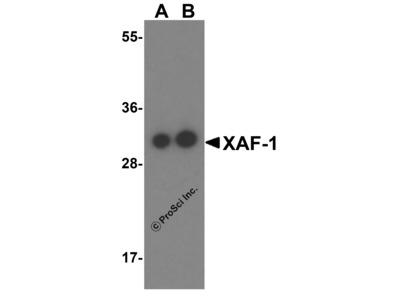 XAF-1 Antibody