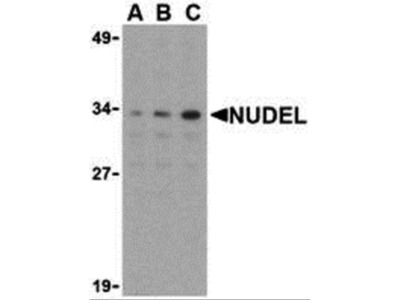 Nudel Antibody