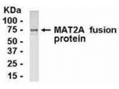 MAT2A Antibody