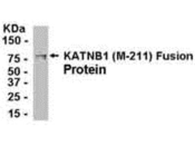 KAT Antibody
