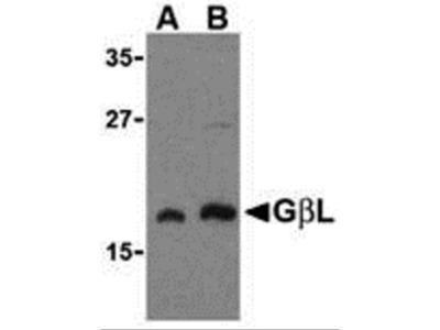GBL Antibody