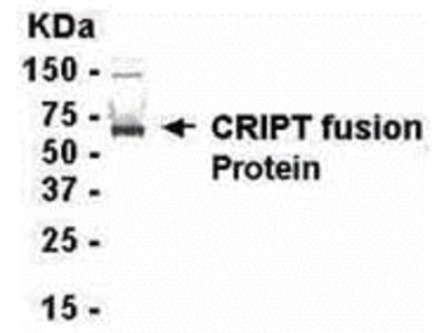 CRIPT Antibody