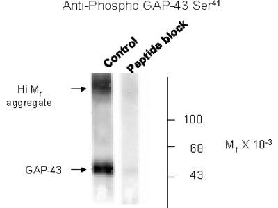 Gap-43 (phospho Ser41) Antibody