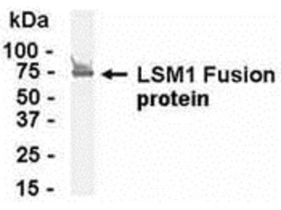 LSM1 Antibody