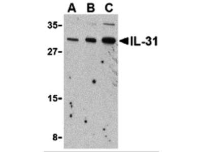 IL-31 Antibody
