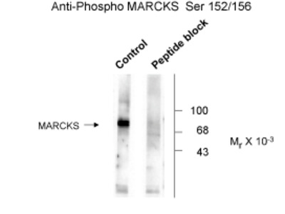 MARCKS (phospho Ser152 / 156) Antibody