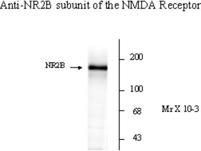 NMDA NR2B Antibody
