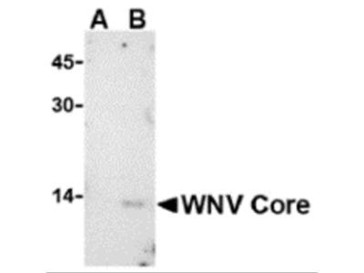 West Nile Virus Core Antibody