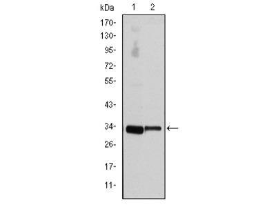 CCND3 Antibody