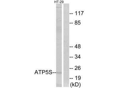 ATP5S Antibody