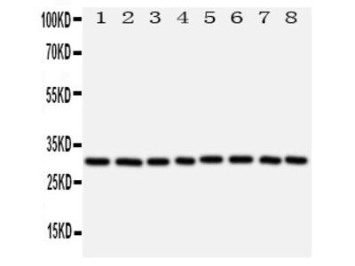 Anti-VDAC/Porin antibody
