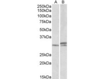 Goat anti-HOXA9 (aa37-50) Antibody