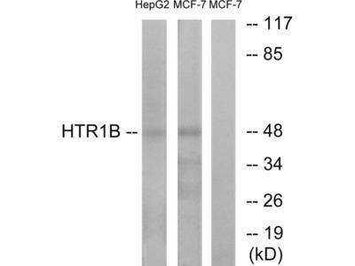 HTR1B Antibody