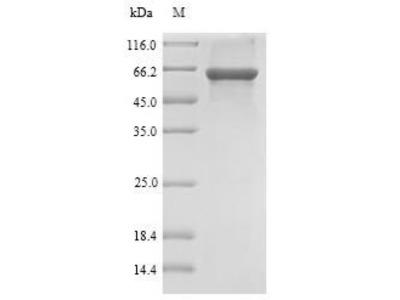 Recombinant Rat Sulfotransferase family cytosolic 1B member 1 (Sult1b1)