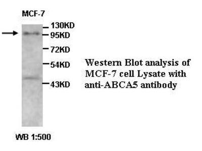 ABCA5 Antibody