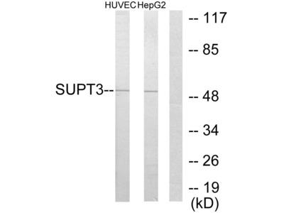 SUPT3H Antibody