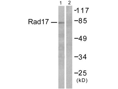 ABHD14A Antibody