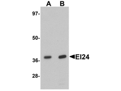 EI24 Antibody
