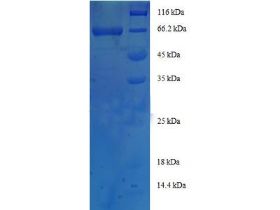 Recombinant human Homer protein homolog 1