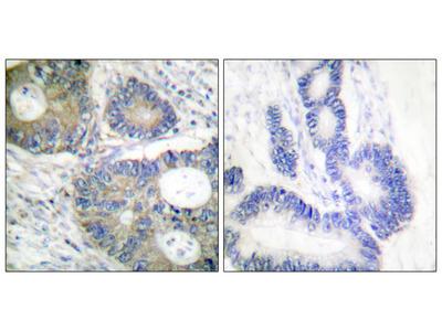 4E-BP1 (Ab-64) Antibody