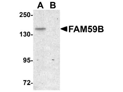 FAM59B Antibody
