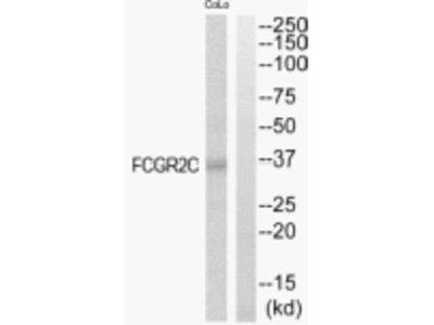 FCGR2C Antibody