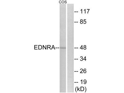 EDNRA Antibody
