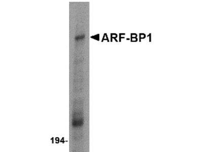 ARF-BP1 Antibody