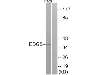 EDG5 Antibody