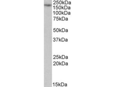 Goat anti-MYO5A Antibody