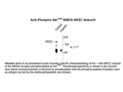 Anti-Phospho Ser1244 NMDA Receptor, NR2C Subunit