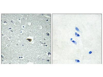 BAI1 Antibody