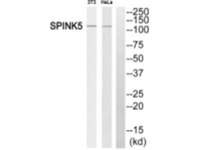 SPINK5 Antibody