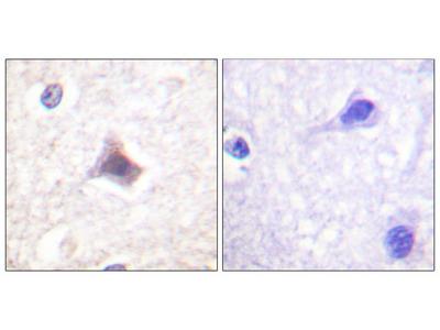 C/EBP-epsilon (Ab-74) Antibody